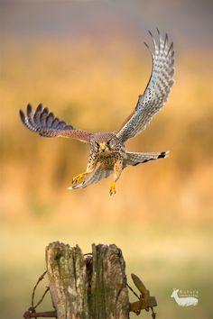 "Target aquired by Neil Burton: ""Female kestrel on landing"" All Birds, Birds Of Prey, Love Birds, Pretty Birds, Beautiful Birds, Animals Beautiful, Kestrel, Rapace Diurne, Yennefer Of Vengerberg"