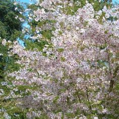 Flowering Cherry - Flowering Cherry Masses of small pink flowers with deeper centres cover this dome-shaped tree in early spring. An ideal small garden tree with a nice arching habit. Autumn colours of orange, red and yellow. Deciduous. 5 x 4 metres  (height & width)