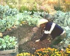 Companion planting, from Mother Earth News - plants grow better with certain partners