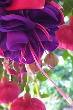 Fuchsia by M.E.