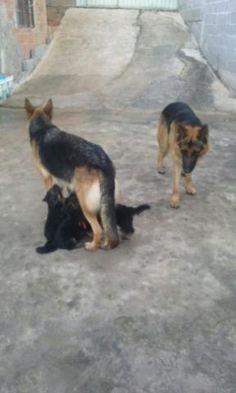 estou vendendo filhotes de pastor alemão VALOR SÓ NO PRIVADO Obs=são de pedigree