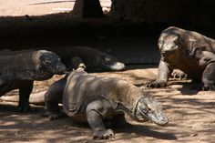 The dragons at Komodo Island - Flores - Indonesia