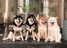 柴犬「胡麻柴」って?変わった毛色のかわいい柴犬まとめ!【レッド・虎毛】 Cute Baby Animals, Animals And Pets, Spitz Breeds, Smiling Dogs, Shiba Inu, Dog Photos, Husky, Dog Cat, Cats