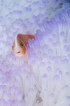 Pink anemonefish in bleached Anemone, Raja Ampat  Indonesia