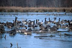 Canada Geese make their nests on the ground near water, in an open place where they can see if anyone is sneaking up on them. Description from piperbasenji.blogspot.ca. I searched for this on bing.com/images