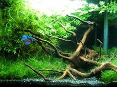 Malysian wood and moss 5 gallon tank. This has to be the luckiest Betta in the world.