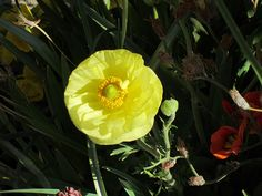 Maale Adumim, Israel - Public Landscaping, 06 neighborhood (צמח השדה), ranunculus (נורית)