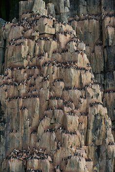 Thick-billed Murres or Brunnich's Guillemots (Uria lomvia). Bird cliff Alkefjellet, Spitsbergen, Svalbard, Norway. - Wildlife-Svalbard-Spitsbergen-Norway - Mike Reyfman Photography