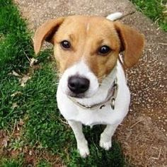 Inca is an adoptable Jack Russell Terrier Dog in North Wales, PA. I am Inca, a 7-8 month old Jack Russel Terrier/Beagle mix and I can't wait to get to PA. I am a very friendly little girl, and I LOVE ...