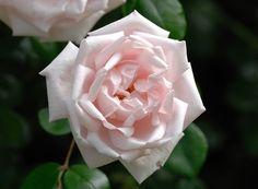 """Rose """"New Dawn"""". Mutation de Docteur Van Fleet fixée par Dreer en 1930"""