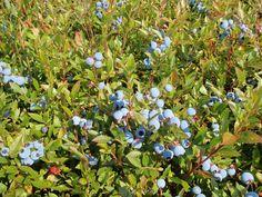wild_blueberries
