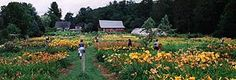 Olallie Daylily Gardens In S. Newfane, VT, is having a HUGE sale this weekend (and it's a fun & beautiful place to visit on a beautiful weekend)!