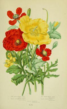 v.1 - The flowering plants, grasses, sedges, & ferns of Great Britain - Biodiversity Heritage Library