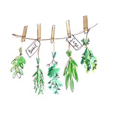 Herbs should be dried immediately after clipping from the garden.  To hang your cut herbs, simply tie ends together or use a clothespin to secure them to twine you have hung away from the sun in a well ventilated dry space.  Give each herb bundle a little space, leaving about an inch between each set. Many herbs take just 2-3 weeks to dry. Once dry, leaves will be crispy and are easily crushed between your fingers. Dried herbs can be stored and used for a full year after drying.