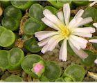 Les plantes-cailloux : Lithops, Conophytum et autres plantes mimétiques. Des plantes extraordinaires, à arroser très rarement.