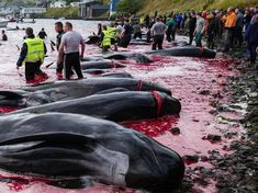 Gruesome images show dead whale calves inside their pregnant mothers' carcasses after hunters massacre 94 in just 12 minutes Sumatran Rhinoceros, Sumatran Orangutan, Marine Conservation, Wildlife Conservation, Most Endangered Animals, Pilot Whale, Gulf Of California, Sea Shepherd, Pregnant Mother