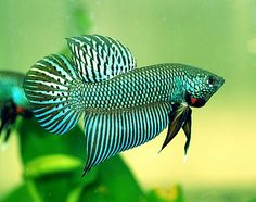 Wild Betta: Betta splendens, small (7.5 cm) fish in the gourami family, native to slow moving, stagnant, overgrown waters in Thailand, Viet Nam, Cambodia and Laos. Can survive in waters with low oxygen content by breathing air from the surface. Feeds on zooplankton and other insect larvae. Bubble nest builder. Lives about 2 years. Reaches sexual maturity around five months. Tropical (warm waters). Suffers much decline due to habitat degradation and pollution…