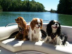 Google Image Result for http://blogs.roanoke.com/thehappywag/files/2011/06/Wag_Spaniels_Daniel                                                  Just chill'in at the lake!