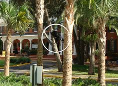 A Florida Black Bear climbs down a tree on his way off the Stetson University DeLand, FL campus in late October.
