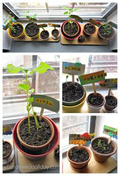 Teach plant science by having an indoor window garden race with common pantry items! So fun for spring!