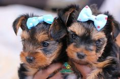 Available Yorkie Terrier Puppies, - Yorkie Puppies For Sale*Moringa Yorkie Teacups*Yorkshire Terriers*Grooming Products*Southern California, High Desert Ca Yorkies *Yorkies Inland Empire CA * Buy Teacup Puppies, *Riverside Ca, Pet Shampoo *Merle Yorkies *Pet Health Products* Toy Dog B