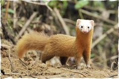 Malayan Weasel (mustela nudipes)