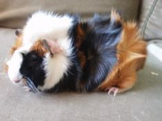Lucy's Cavies......LOVE THIS WEBSITE!!!!!!!!!!!!!!!!!!!!!