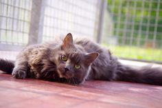 Frita est l'un des chats proposé à l'adoption par la SPA. (© SPA)