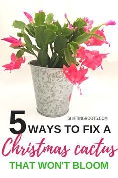 Does your Christmas Cactus refuse to bloom? Stop seething with jealousy and try these 5 Christmas cactus care solutions to get your flower blooming again. You'll never guess the tips about watering and repotting!! #christmascactus #thanksgivingcactus #houseplants #succulents