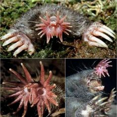 Star nosed mole...seriously, if I saw one of these in my yard, I think I'd run away screaming and never come back.  Nasty!