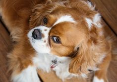 King Charles Cavalier.  Photography by: Michele Kovack