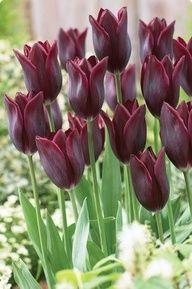 maroon tulips