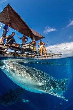 Whale Sharks under Papuan fishing boat by Tomas Kotouc on 500px