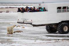 Polar Bear Smelling Tourists, Churchill, Manitoba