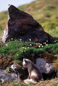 Arctic Fox Cub by Bjorn Anders Nymoen - National Geographic Your Shot