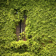 how to get rid of ivy in yard