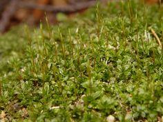 Plagiomnium cuspidatum - měřík bodlavý