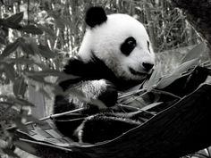 Once u sail the bamboo river, Wild Animals, Cute Animals, Panda Watch, Fizzy Moon, Panda Bears, Global Art, Wild Life, Bamboo, Art Gallery