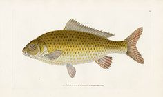 Donovan British Fishes 1802
