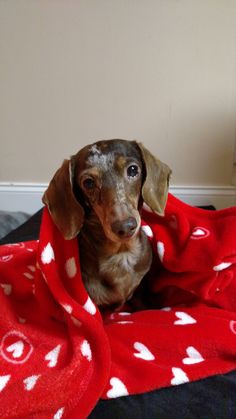 Meet Sofia, 10 year old former puppy mill breeder with 3 teeth, a tumor on her belly, and a fear of her own shadow. She is our new senior girl and finally knows love!! Funny Dachshund, Dachshund Love, Silky Terrier, Sausage Dogs, Puppy Mills, Crazy Dog, Weiner Dogs, Senior Girls, Hot Dog