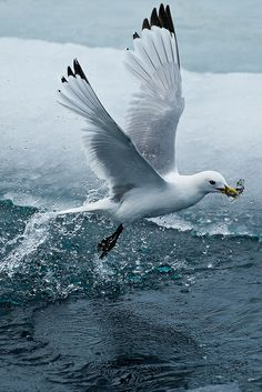 """""""Spitzbergen wildlife (by Exodus Travels - Reset your compass) """" Sea Birds, Love Birds, Beautiful Birds, Beautiful Pictures, Animals And Pets, Cute Animals, Flora Und Fauna, Photo Animaliere, Image Nature"""