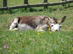 Quando fa caldo, riposarsi sull'erba è un ottimo modo per trovare un po' di refrigerio . Per gentile concessione di Il Rifugio degli Asinelli, Sala Biellese (BI) Italy.