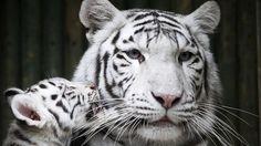 Filhote de tigre-de-bengala com sua mãe, Surya Bara, no zoológico de Liberec, na República Checa