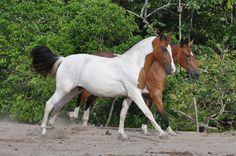 Haras Pernambuco - Best Breeder Campolina Campolina Pampa Northeastern Exhibition 2010, 2011 and 2012