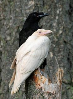 I actually saw an albino crow a little bit ago. It was flying in a group of about 15 other crows. And I'm positive it wasn't another kind of bird that snuck in with that group.