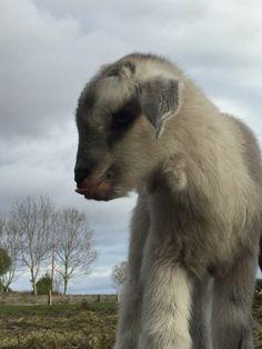 Goat kid, 4 days old @thelittleflockfarm @ellislarrisa.H