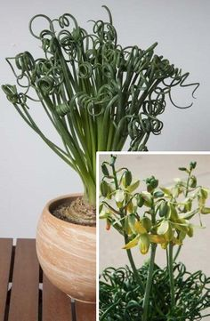 Albuca 'Frizzle Sizzle' (Albuca spiralis) has thick, tightly curled leaves are short stems that arise from a bulb. It flowers in the spring