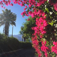 boungainvillea palm springs | kelly golightly