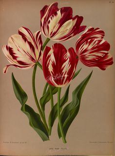 Late Rose Tulips - high resolution image from old book. Plant Illustration, Botanical Illustration, Botanical Drawings, Botanical Prints, Flower Prints, Flower Art, Sibylla Merian, Tulip Tattoo, Tulip Painting