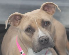 *LIGHTNING-ID#A693109    Shelter staff named me LIGHTNING.    I am a spayed female, brown and white Pit Bull Terrier.    The shelter staff think I am about 1 year and 1 month old.    I have been at the shelter since Feb 08, 2013.